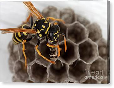 Common Wasp Canvas Print by Ted Kinsman