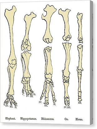 Comparison Of Animal Feet, Historical Art Canvas Print by Sheila Terry
