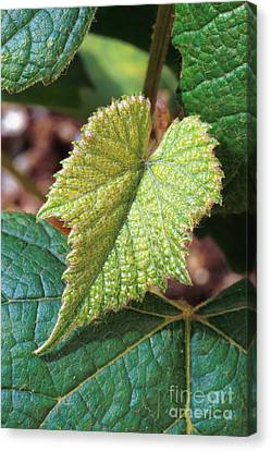 Concord Grape Plant Canvas Print by Science Source