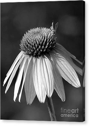 Cone Flower And A Bee Canvas Print by Sabrina L Ryan