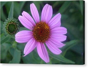 Cone Flower Canvas Print by Linda Pope