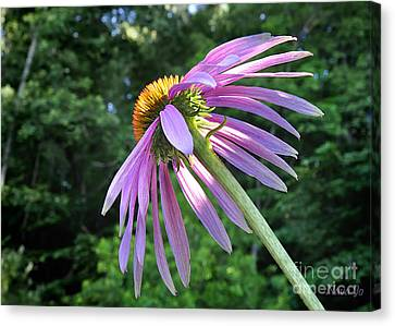 Canvas Print featuring the photograph Cone Flower Sunrise by Nava Thompson