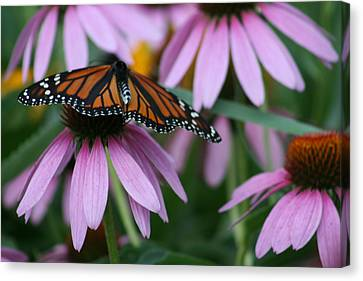 Canvas Print featuring the photograph Cone Flowers And Monarch Butterfly by Kay Novy
