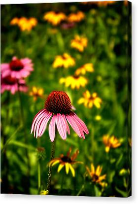 Coneflower At Waltham Woods Canvas Print by Vicki Jauron