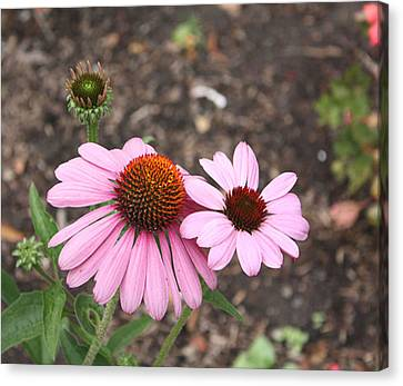 Coneflowers Nb Canvas Print