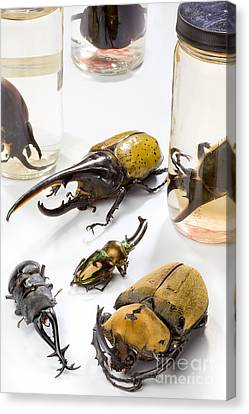 Confiscated Beetles Canvas Print by Science Source