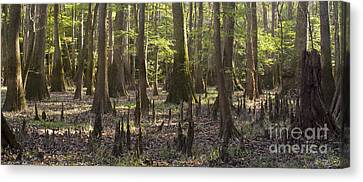 Congaree National Park  Canvas Print by Dustin K Ryan