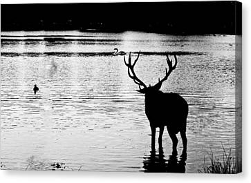 Canvas Print featuring the photograph Cooling Off Deer by Maj Seda