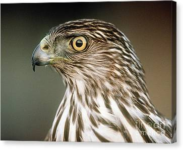 Canvas Print featuring the photograph Cooper's Hawk by Doug Herr