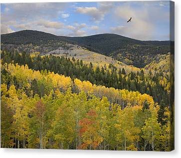 Coopers Hawk Flying Over Quaking Aspen Canvas Print by Tim Fitzharris