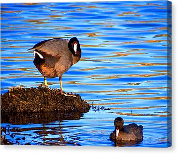 Coots Canvas Print by Catherine Natalia  Roche