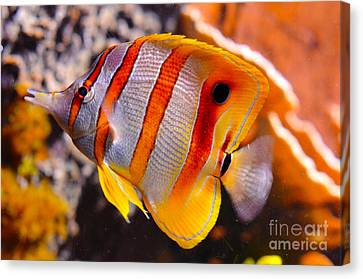 Copperband Butterfly Fish Canvas Print by Pravine Chester