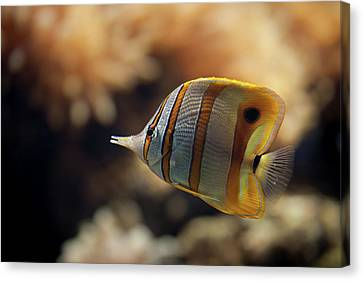 Copperband Butterflyfish Canvas Print by Stavros Markopoulos