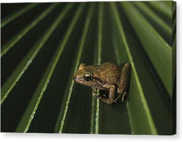 Coqui Frogs Invaded The Hawaiian Canvas Print by Melissa Farlow