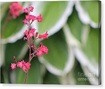 Coral Bells Canvas Print
