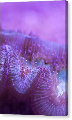 Pennekamp Canvas Print - Coral Close-up I by Adam Pender
