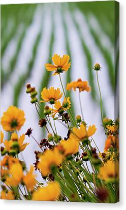 Coreopsis Lanceolata In Front Of Rice Field Canvas Print by Glittering star. A whisper of trees. The noise of the town.