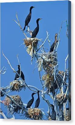 Cormorant Habitat Canvas Print by Lisa  DiFruscio