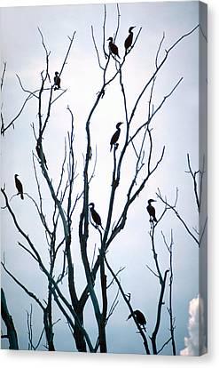 Cormorant Raiders Canvas Print