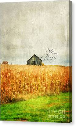 Corn Fields Of Kentucky Canvas Print by Darren Fisher