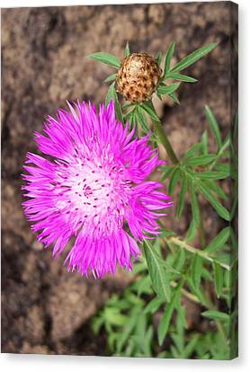 Corn Flower Canvas Print