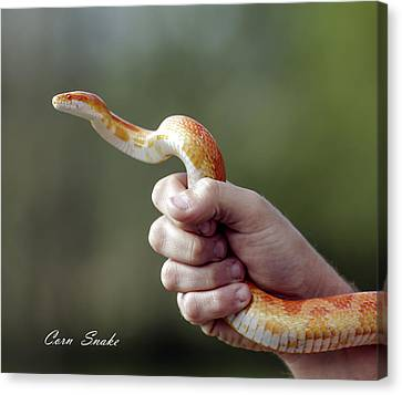 David Lester Canvas Print - Corn Snake by David Lester