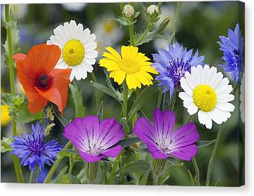 Cornfield Weed Flowers Canvas Print