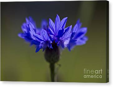 Cornflower Blue Canvas Print