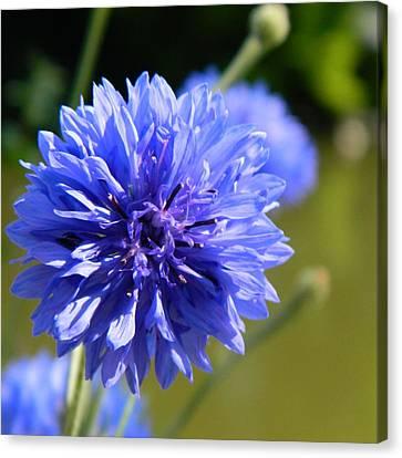 Cornflower Blue Canvas Print by Sharon Lisa Clarke