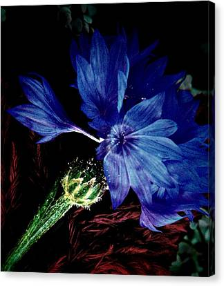 Cornflower  Canvas Print by Chris Berry