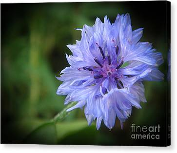 Cornflower Canvas Print by Yvonne Johnstone