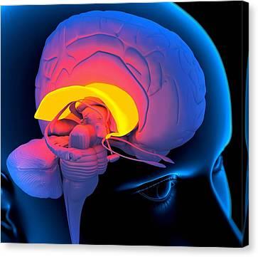 Left Hemisphere Canvas Print - Corpus Callosum In The Brain, Artwork by Roger Harris