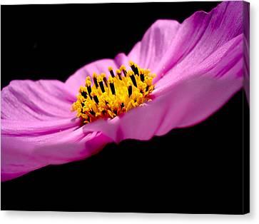 Cosmia Flower Canvas Print by Sumit Mehndiratta