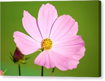 Cosmos And Bud Canvas Print