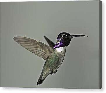 Canvas Print featuring the photograph Costas Hummingbird by Gregory Scott