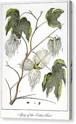 Cotton Plant, 1796 Canvas Print by Granger