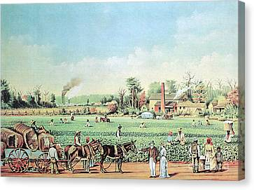 Cotton Plantation On The Mississippi Canvas Print by Photo Researchers