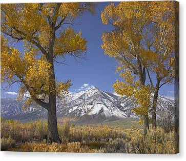 Cottonwood Trees Fall Foliage Carson Canvas Print by Tim Fitzharris