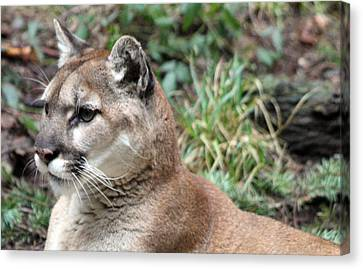 Cougar - 0006 Canvas Print by S and S Photo