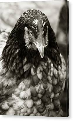Country Chicken 5 Canvas Print by Scott Hovind