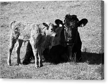 Cow And Newborn Calf In A Field In Ireland Canvas Print by Joe Fox