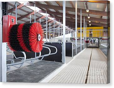 Cow Brush In A Cowshed Canvas Print