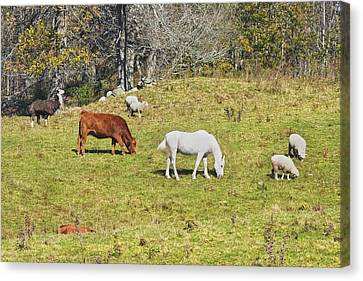 Cow Horse Sheep Grazing On Grass Farm Field Maine Canvas Print by Keith Webber Jr