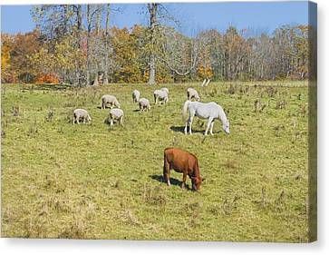 Cow Horse Sheep Grazing On Grass Farm Field Maine Photograph Canvas Print