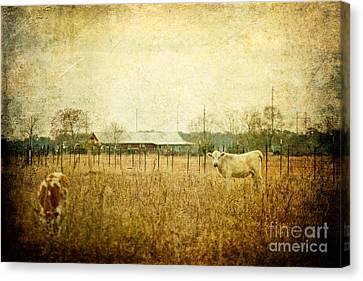 Cow Pasture Canvas Print by Joan McCool