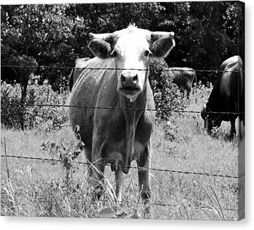 Cow Time Canvas Print by Sharon Farris