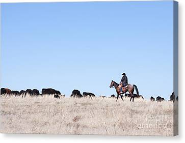 Cowboy And Cattle Canvas Print by Cindy Singleton