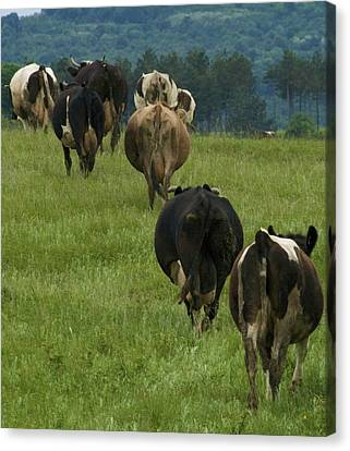 Cows Going Home Canvas Print by Pan Orsatti