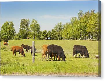 Cows Grazing On Grass In Maine Farm Field Spring Canvas Print by Keith Webber Jr