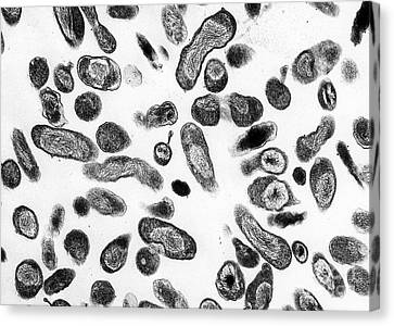 Coxiella Burnetii Bacteria, Tem Canvas Print by Science Source